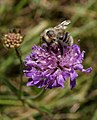 Bee on scabious - geograph.org.uk - 571420.jpg