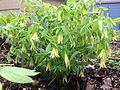 Bellwort (Uvularia grandiflora).JPG