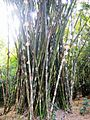 Bengal-Bamboo.jpg