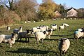Benniworth sheep - geograph.org.uk - 619478.jpg