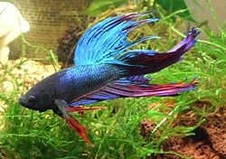 Betta splendens colore.JPG