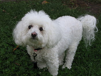 Photograph of a Bichon Frisé, wearing a collar...