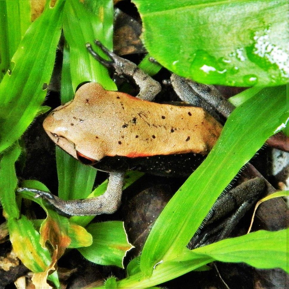 Bicolored Frog or Malabar Frog