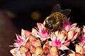 Biene auf Roter Fetthenne 20140828 2.jpg
