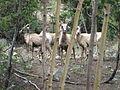 Bighorn sheep between trees.JPG