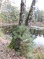 Birke zweigeteilt am Schwarzen Luch - panoramio.jpg