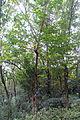 Bischofia javanica - Chengdu Botanical Garden - Chengdu, China - DSC03533.JPG