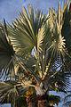 Bismarckia nobilis C.jpg