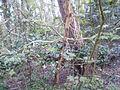 Bizarre verschijnselen-esdoorn en Hollandse denneboom samen in één grond....JPG