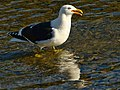Black-Backed Gull (7686498890).jpg