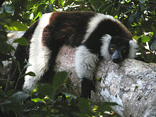 black-and-white ruffed lemur resting, lying prone over a large tree branch