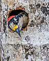 Black-cheeked Woodpecker (16732048579).jpg