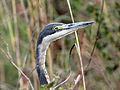 Black-headed Heron RWD2.jpg
