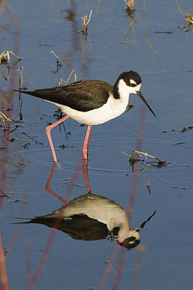 Black-necked-stilt-morro-creek 306.jpg