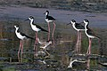 Black-necked stilts (Himantopus mexicanus).JPG