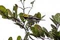 Black-throated Green Warbler (Setophaga virens) (8082120818).jpg