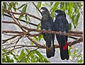 Black Cockatoos Cairns-1and (4196446203).jpg