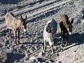 Black Metal Wash Californian Burros - panoramio - Zzyzx (5).jpg