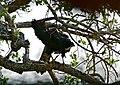 Black Sparrowhawk (Accipiter melanoleucus) melanistic form (30688362345).jpg