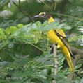 Black hooded Oriole (Immature) I2 IMG 4204.jpg
