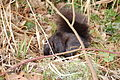 Black squirrel.jpg
