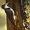 BlackbackedWoodpecker23