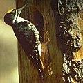BlackbackedWoodpecker23.jpg