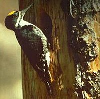BlackbackedWoodpecker23