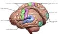 Blausen 0103 Brain Sensory&Motor.png
