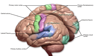 Primary somatosensory cortex - Primary somatosensory cortex labeled in purple