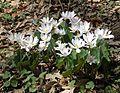 Bloodroot (Sanguinaria canadensis) - Flickr - Jay Sturner (8).jpg