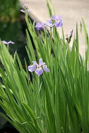 Iris versicolor - Image: Blue Flag (Iris versicolor) United States National Arboretum (1)