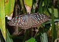 Blue Grassy Tiger Ideopsis vulgaris (22425719362).jpg