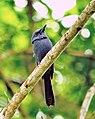 Blue Paradise-flycatcher.jpg