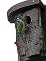 Blue Tit @ nest box 02.06.11 (5790732023).jpg