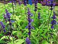 Blue flowers in Da Lat.jpg