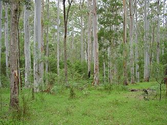 Blue Gum Forest (2002)