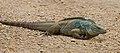 Blue iguana (Cyclura lewisi) male.JPG