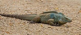 Blue iguana species of reptile