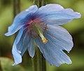 Blue poppy (27284574764).jpg