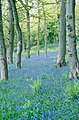 Bluebell woods at Dunrobin Castle - geograph.org.uk - 296667.jpg