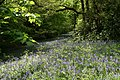 Bluebells, Brock woods - geograph.org.uk - 836345.jpg