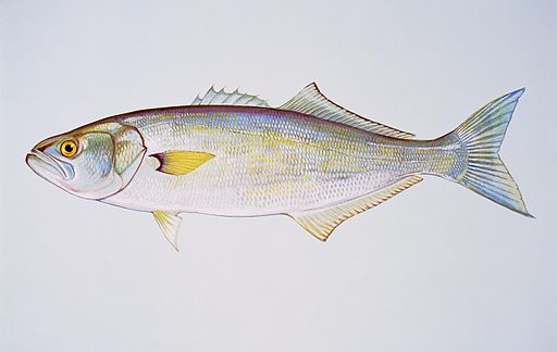 Bluefish free image
