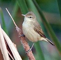 Blunt-winged Warbler I IMG 0202