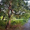 Bois noir des bas (arbre proche de la forêt de L'Étang-salé).jpg