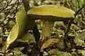Boletus reticulatus (29088911282).jpg