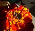 Bombus muscorum on marigold.jpg