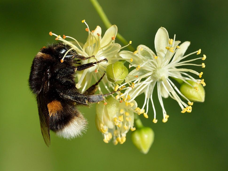 Bombus terrestris queen - Tilia cordata - Keila