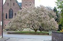 tulpen magnolie wikipedia. Black Bedroom Furniture Sets. Home Design Ideas