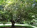 Botanical Garden of Peradeniya 70.JPG